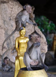 Apes in buddha temple Royalty Free Stock Photos