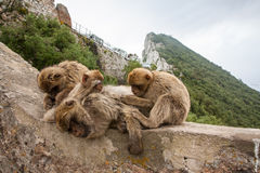 Apes of Gibraltar. Gibraltar monkeys sitting on a wall Stock Image