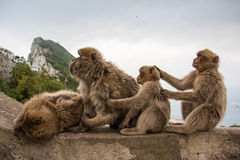 Apes of Gibraltar. Gibraltar monkeys sitting on a wall Royalty Free Stock Photo