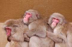 Apes holding eachother  Royalty Free Stock Images