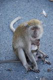 Apes mum and son scene in Hatyai Stock Image