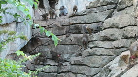 Apes on rocks stock video