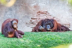 Apes submissive to the rest of the leader Stock Image