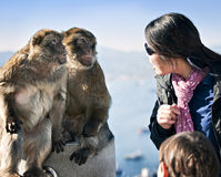 Apes Talking with Woman. Barbary Apes of Gibraltar interacting with tourists Stock Photography