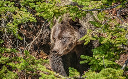 Large Grizzly Bear Forages in Yellowstone  Stock Photography