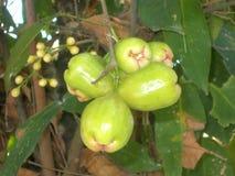 Apfel-Fruchtgrün 2 Rose Java Lizenzfreie Stockbilder