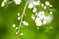Apfel im Frühjahr Stockfotografie