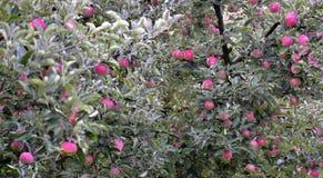 Apfel trägt bereit zu aufheben Früchte Lizenzfreies Stockbild