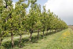 Apfelbäume Lizenzfreie Stockbilder