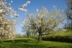 Apfelbäume Stockfotos