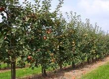 Apfelbäume Lizenzfreies Stockfoto