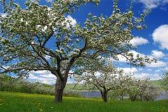 Apfelbäume in horizontalem lizenzfreie stockbilder