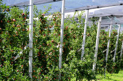 Apfelbäume im Alt Adige. Lizenzfreies Stockfoto