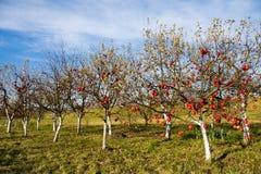Apfelbäume mit reifen Früchten stockfotografie