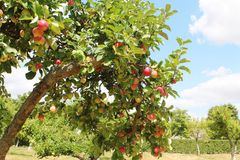 Apfelbäume orchand stockbilder