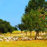 Apfelbäume und die Gänse Lizenzfreie Stockfotos
