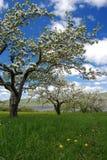 Apfelbäume in voller Blüte lizenzfreies stockbild