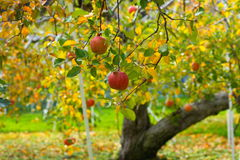 Apfelbaum lizenzfreie stockfotos
