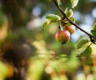 Apfelbaum lizenzfreie stockfotografie