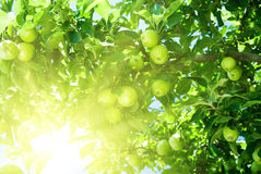 Apfelbaum stockfotos