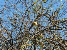 Apfelbaum auf blauem Himmel Stockbilder