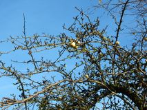 Apfelbaum auf blauem Himmel Lizenzfreies Stockbild