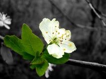 Apfelbaum auf einem grauen Hintergrund stockbild