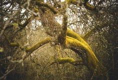Apfelbaum bedeckt im Moos Stockfotos