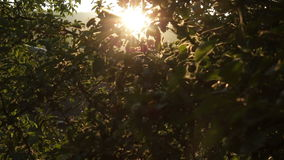Apfelbaum bei Sonnenuntergang HD stock footage