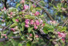 Apfelbaum bevor dem Blühen Stockbilder