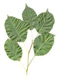 Apfelbaum-Blätter trennten Stockfotos