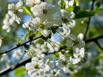 Apfelbaum blüht Blüte im Frühjahr Lizenzfreies Stockfoto