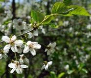 Apfelbaum blüht Blüte im Frühjahr Stockfoto