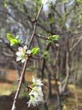 Apfelbaum-Blüte Stockfoto