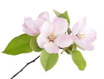 Apfelbaum-Blüten Stockfotos