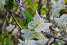 Apfelbaum-Blüten Lizenzfreie Stockfotografie