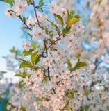 Apfelbaum-Blüten Stockfotografie