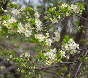 Apfelbaum-Blüten Stockbild