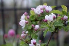 Apfelbaum-Blüten lizenzfreies stockfoto