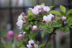 Apfelbaum-Blüten lizenzfreie stockbilder