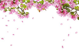 Apfelbaum-Blütenniederlassungen und fallende Blumenblätter Stockfoto