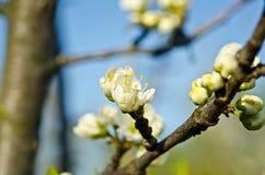 Apfelbaum blosson Stockfotos