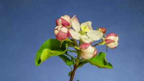Apfelbaum-Blumen?ffnen stock video