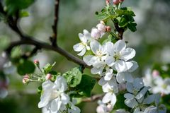 Apfelbaum-Blumen-Frühlingstag stockfoto