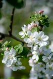 Apfelbaum-Blumen-Frühlingstag stockfotografie