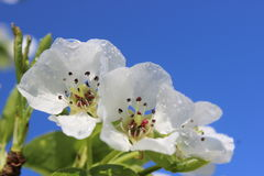 Apfelbaum, Blumen mit Tautropfen lizenzfreie stockfotografie