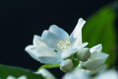 Apfelbaum-Blumenfoto stockfotos