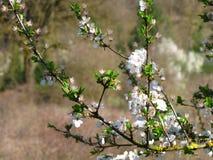 Apfelbaum-Brunch Stockbild