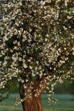 Apfelbaum in den Blüten Lizenzfreies Stockfoto