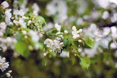 Apfelbaum in den Blumen Stockfoto
